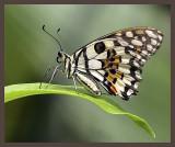 Citrus or Lime Swallowtail.jpg