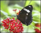Great Eggfly Butterfly.jpg