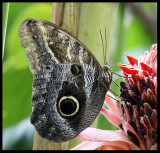 Owl butterfly.jpg