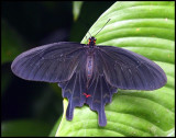 The Pink Rose Butterfly.jpg