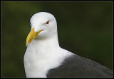 The Southern Black-Backed Gull.jpg