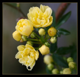 Banksia Lutea buds and flowers