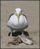 Black Backed Gull and his lunch.jpg