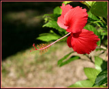 Hibiscus of Fiji