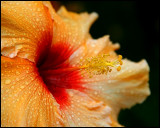 Hibiscus after a shower