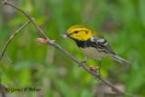 Black - throated Green Warbler