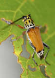Long-horned Beetle ¬Ü´³¦}¯á¤Ñ¤û Glenea cantor
