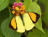 Yellow Orange Tip (Male) ¾í¯»½º(¶¯) Ixias pyrene