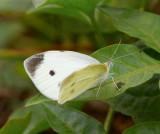 Small Cabbage White µæ¯»½º Pieris rapae