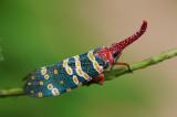 Lantern-fly Às²´Âû Fulgora candelaria