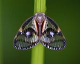 Ricanid Planthopper  ²´¯¾²¨¼sÄúÂÍ Euricania ocellus