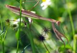 Chinese Mantid ¤¤µØ¤j¤MÁ® Tenodera sinensis