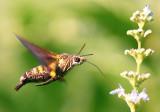 Hawk Moth ªø³ñ¤Ñ¸¿ Macroglossum sp.