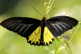 Common Birdwing (male) »n»ñ½º (¶¯) Troides Helena