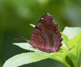 Angle Castor 波蛺蝶 Ariadne ariadne