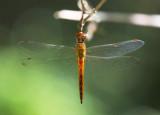 Wandering Glider ¶À»f Pantala flavescens