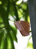 Common Duffer »ñ²´¤èÀô½º Discophora sondaica