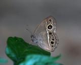 South China Bush Brown ¥³»¬Ü²´½º Mycalesis zonata