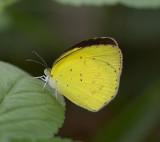 Small Grass Yellow µL¼Ð¶À¯»½º Eurema brigitta