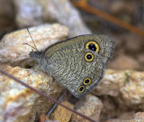 Small Three-ring ¤p¤Tôw²´½º Ypthima norma