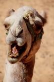 Roaring camels