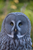 big grey owl 700.jpg