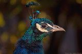 peacock profile 700.jpg