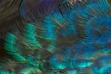 peacock detail 700.jpg