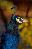 peacock profile 2 700.jpg