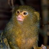 pygmy marmoset 900.jpg
