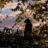 meerkat at sunset 900.jpg