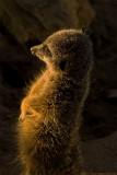meerkat sunworship 700.jpg