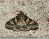 Melipotis indomita - Hodges # 8600 male