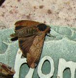 moth id 48