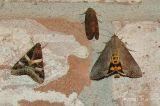 left moth: Melipotis indomita Hodges # 8600 male/right- hypocala andremona