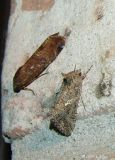 lower moth Ni Moth -  Trichoplusia ni
