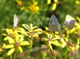 ceraunus blue and gray hairstreak