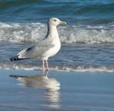 Gulls/Terns/Skimmers