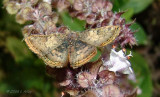 red bordered metalmark