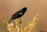 Blackbird on Vegetation