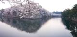 sakura at dusk