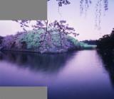 sakura in mixed light