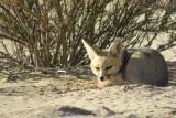 Cape fox