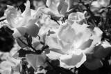 Baker Park Roses.jpg