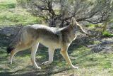 Coyote at Pocatello Zoo _DSC0703.JPG