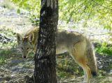 Coyote at Pocatello Zoo _DSC0715.JPG