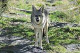 Coyote at Pocatello Zoo _DSC0732.JPG