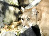 Cougar at Pocatello Zoo _DSC0798.JPG