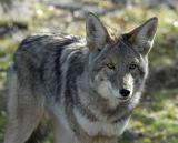 Coyote at Pocatello Zoo _DSC1033.jpg