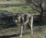 Coyote at Pocatello Zoo _DSC1047.jpg